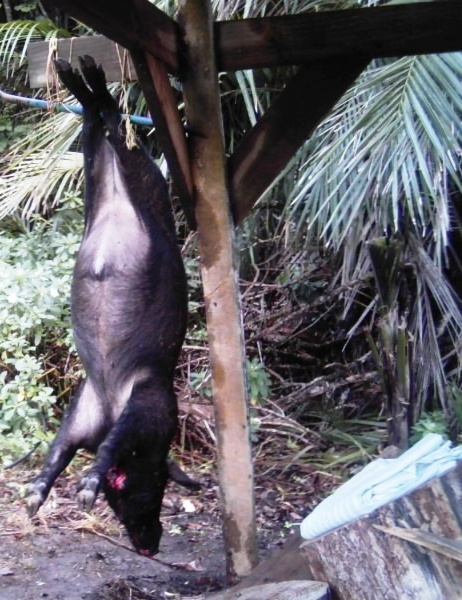 Willd boar shot at WFL